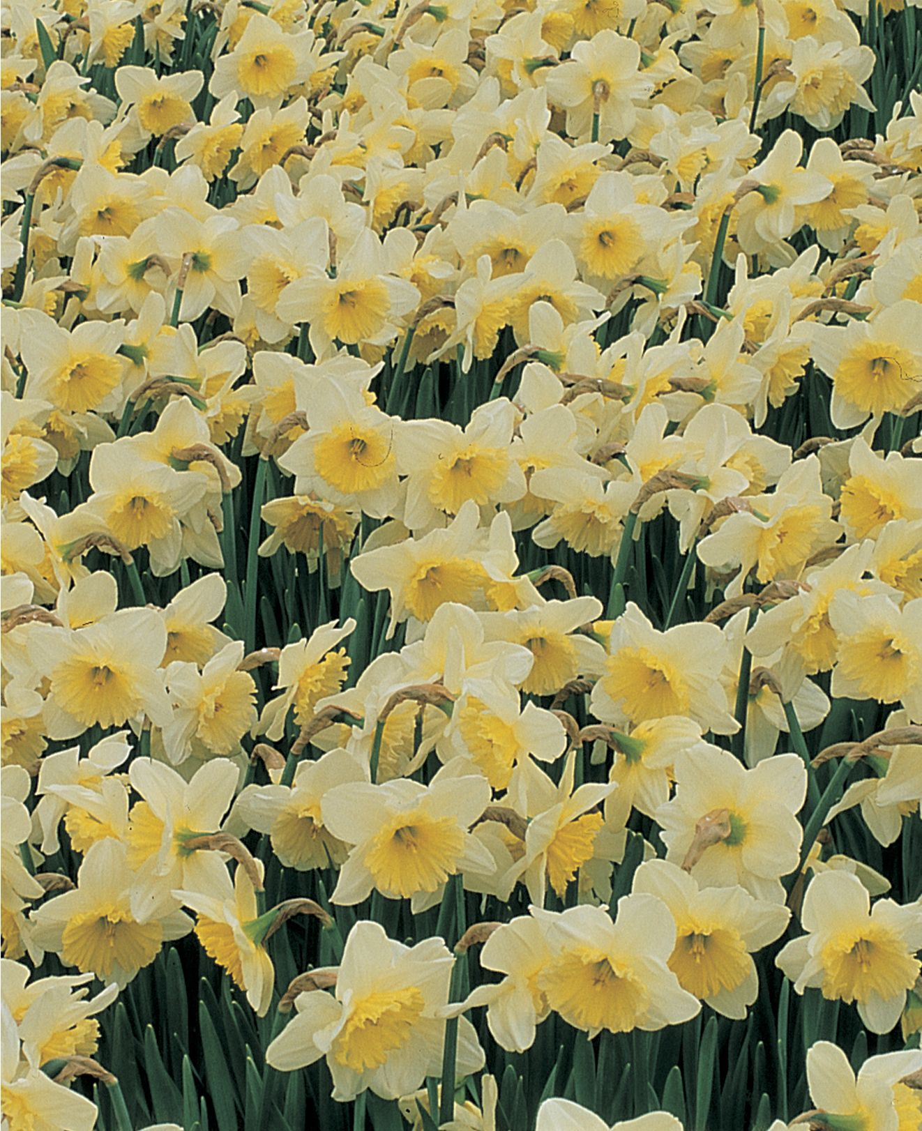 A Classical Daffodil To Plant This Autumn And One Of Our Top Ten Star Bulbs Is Narcissus Ice Follies Creates A S Daffodils Plants Texas Gardening