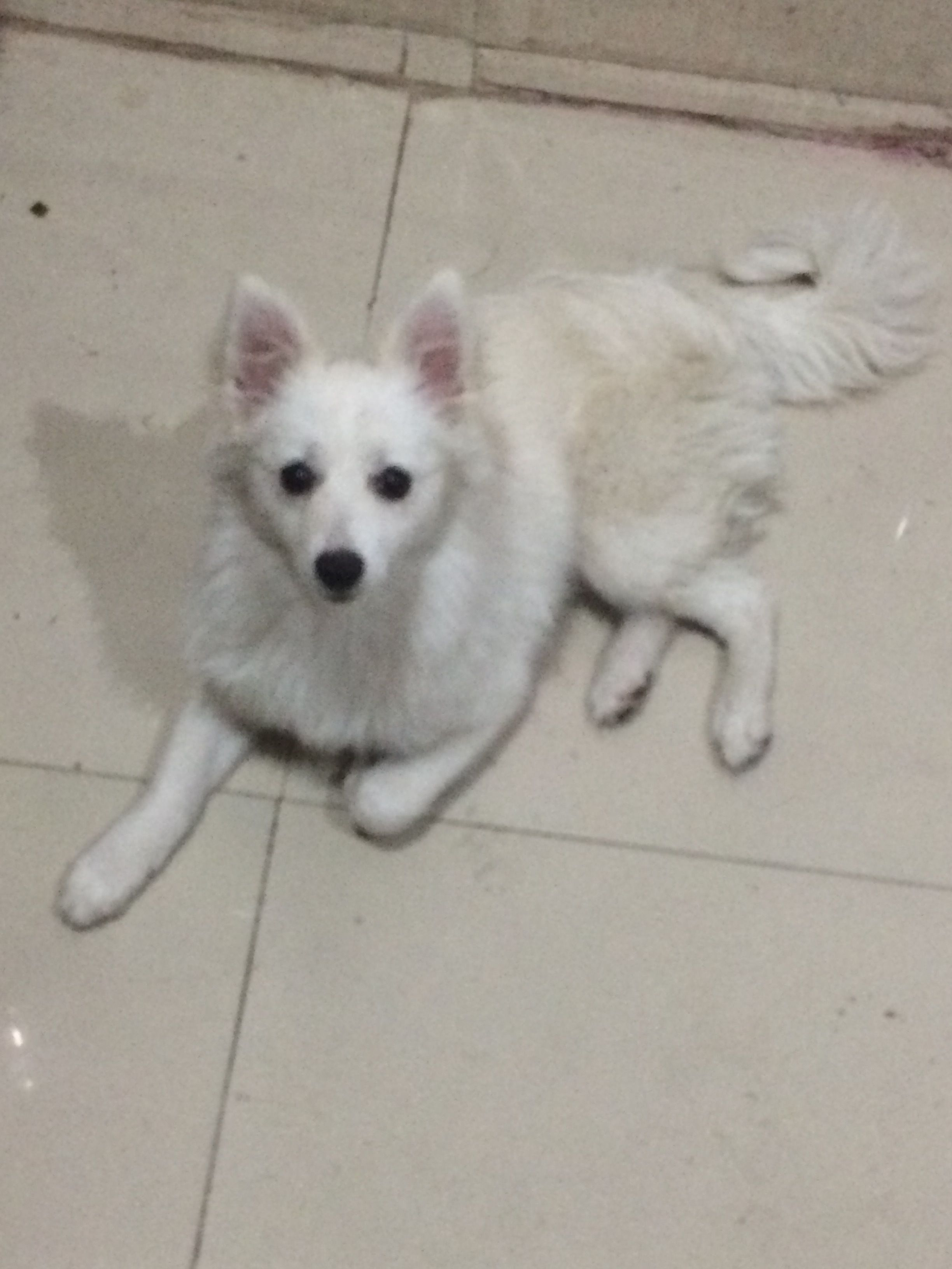 Lost Dog Name Alina Aalu Color White Breed Pomeranian Mixed Breed Like Indian Spitz Red Patta In Neck Light Dog Names Trendy Dog Beds Best Dog Names