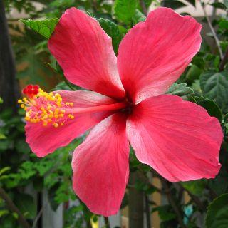 Gumamela Hibiscus Hibiscus Gumamela Flowers