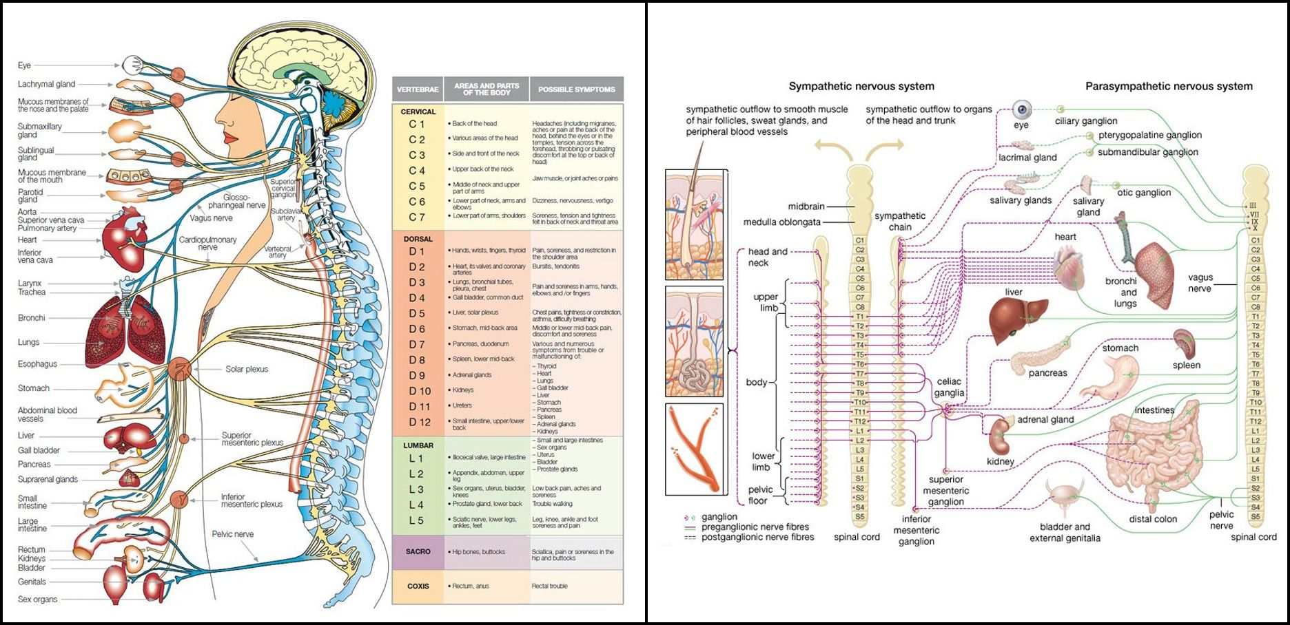 The Central Nervous System Work Tools Central Nervous System Nervous System