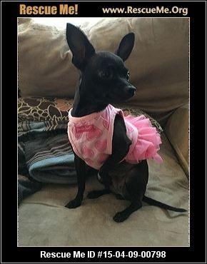 Connecticut Chihuahua Rescue Adoptions Rescueme Org