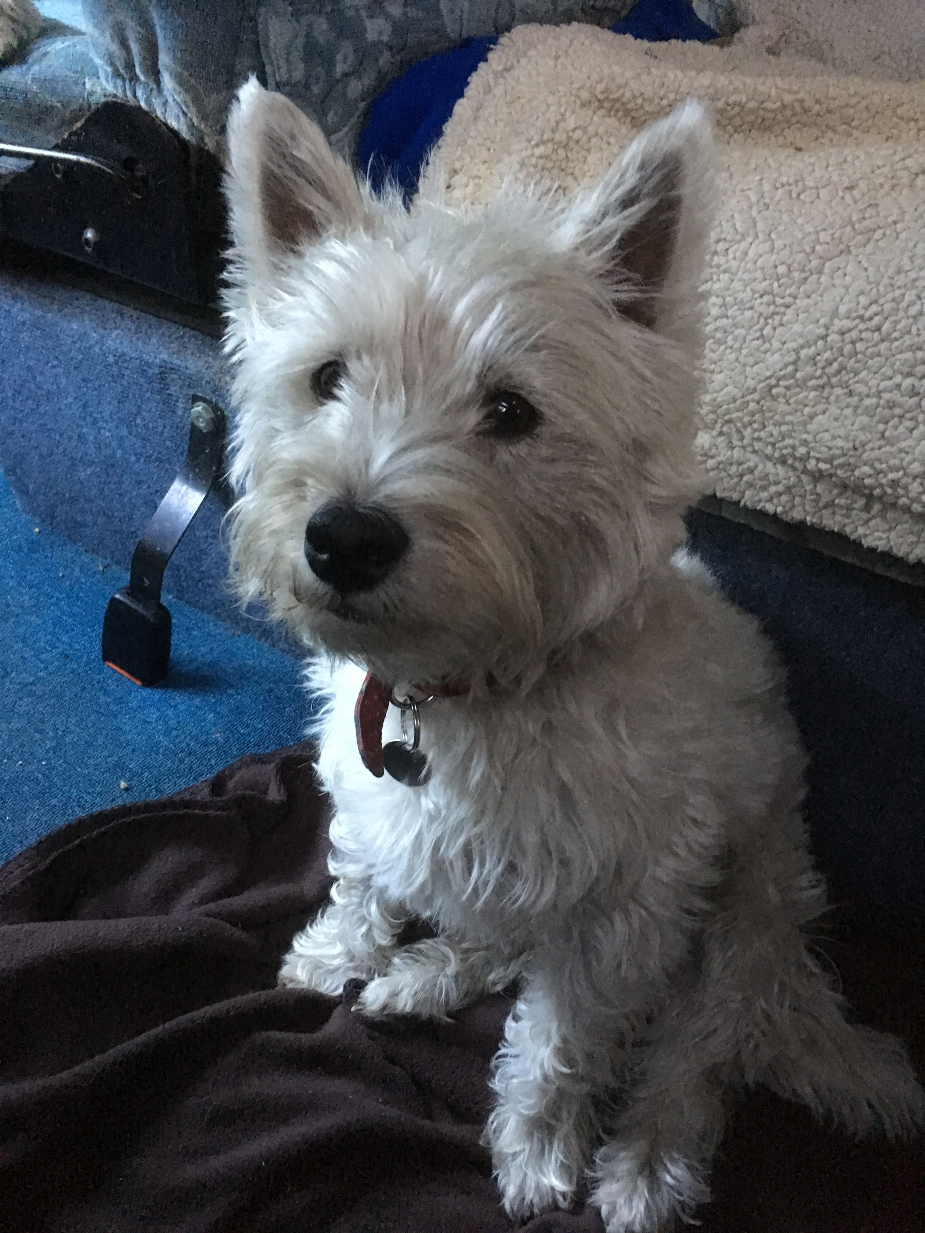 Pin By Richard Smith On Dogs Westies West Highland Terrier