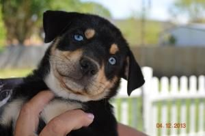 Adopt Shadow Pending On With Images Labrador Puppy Chocolate Labrador Retriever Labrador Retriever Dog