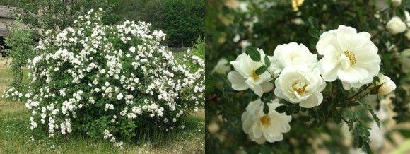 juhannusruusu - Rosa pimpinellifolia Plena