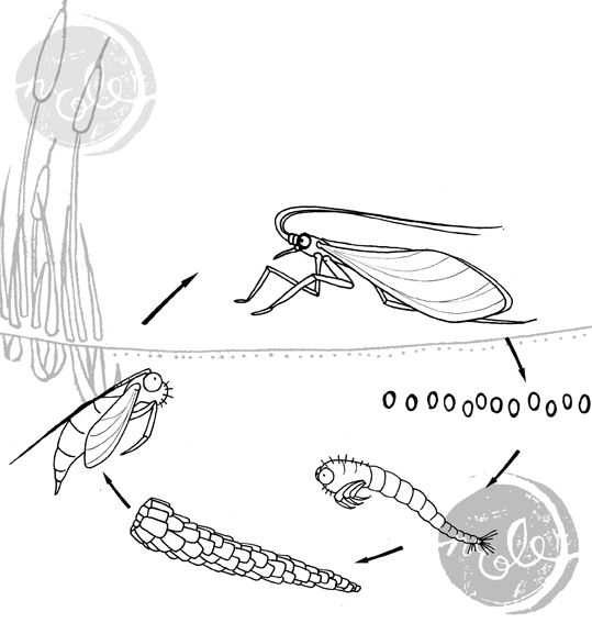 90288d5718e2ff83f4b1b39a97c6c193 here is a diagram of the caddis fly life cycle look carefully at