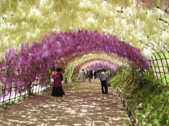 Cool Places To See Flowers The Wisteria Tunnel In Japan Wisteria Tunnel Wisteria Tunnel Japan Wisteria