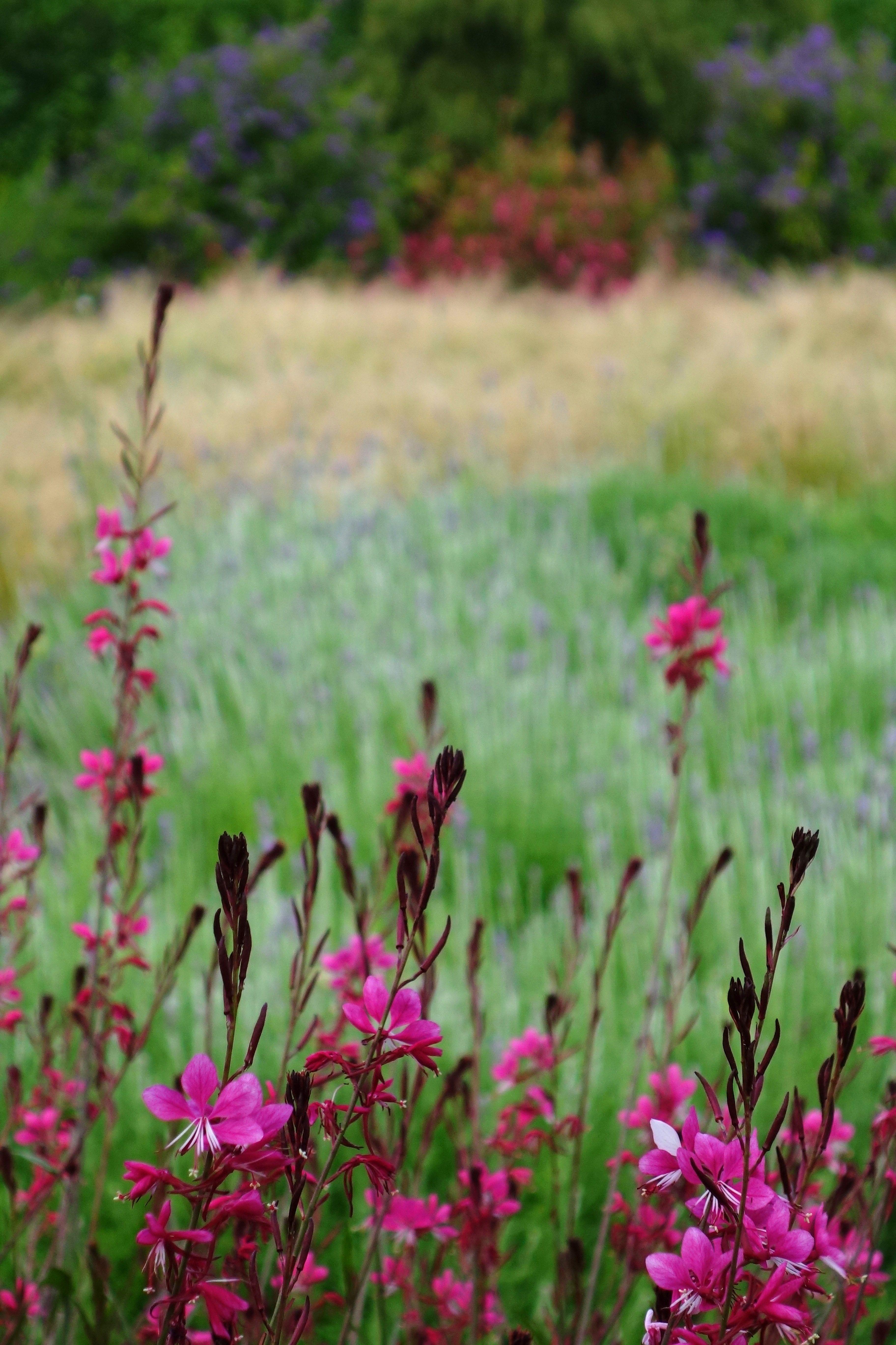 Pink gaura a lovely mediterranean flower joey pinterest pink gaura a lovely mediterranean flower mightylinksfo