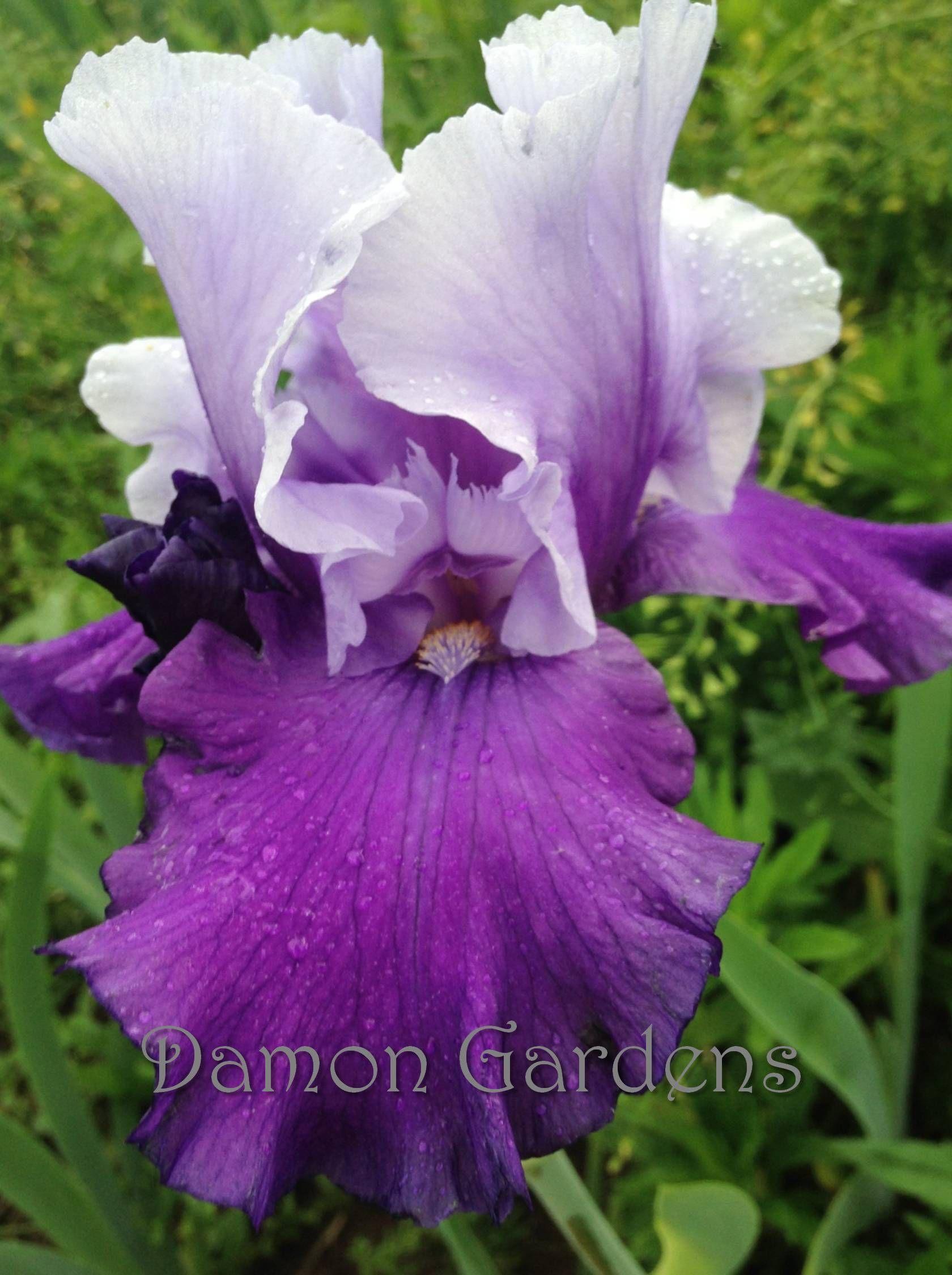 Iris mystique plants for side to side pinterest iris flowers iris mystique izmirmasajfo