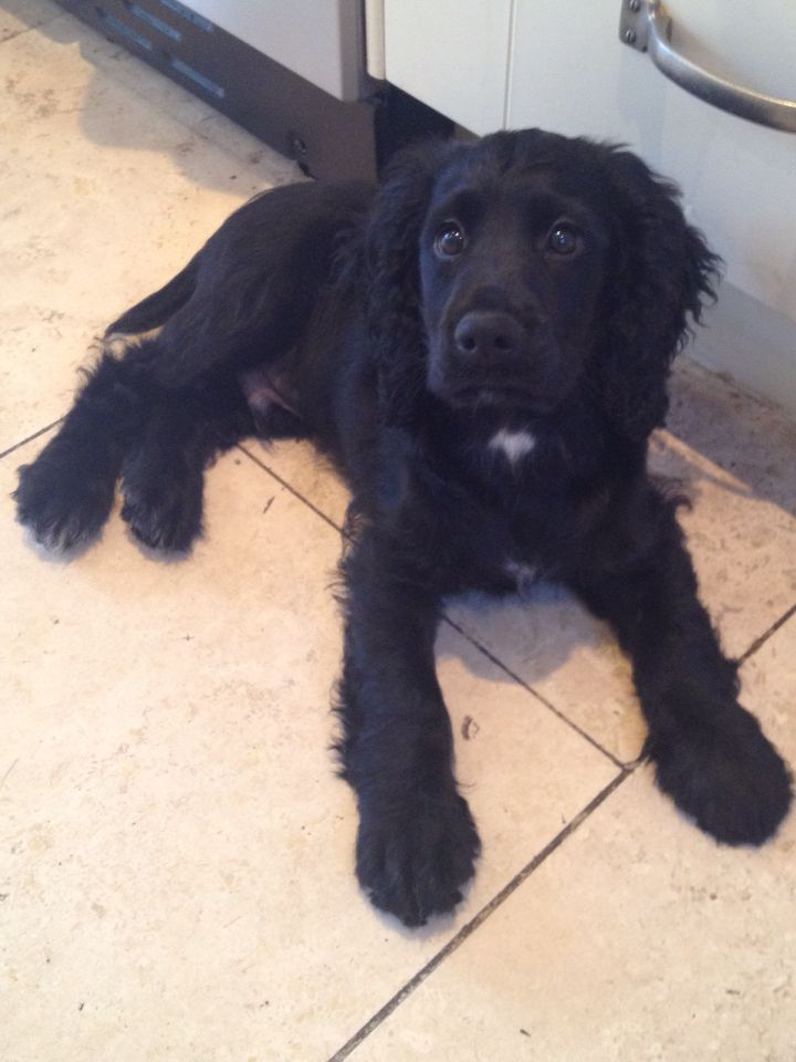 Ziggy 12 Weeks Working Cocker Spaniel Puppy Spaniel Puppies Dogs Black Cocker Spaniel Puppies