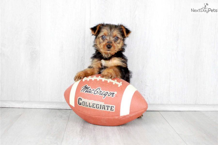 Yorkshire Terrier Yorkie puppy for sale near Columbus