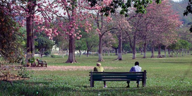 Poui Trees in bloom - Queen's Park Savannah - P.O.S ...