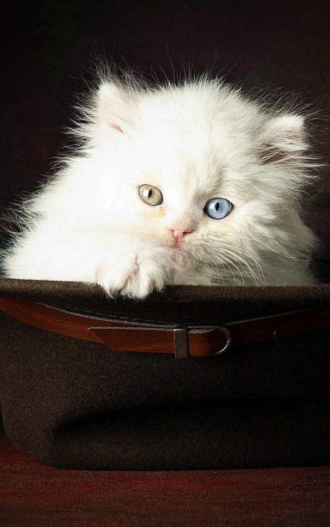 White Cute Cat Wallpaper Download