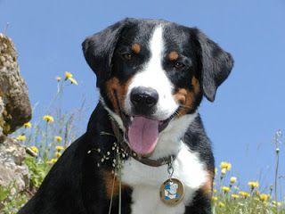 Appenzeller Sennenhund Cutie Pie Image From Akc Org Mountain