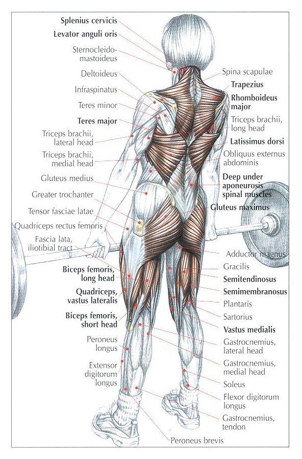 Kreuzheben   Übung   Pinterest   Kreuzheben, Muskel und Übungen