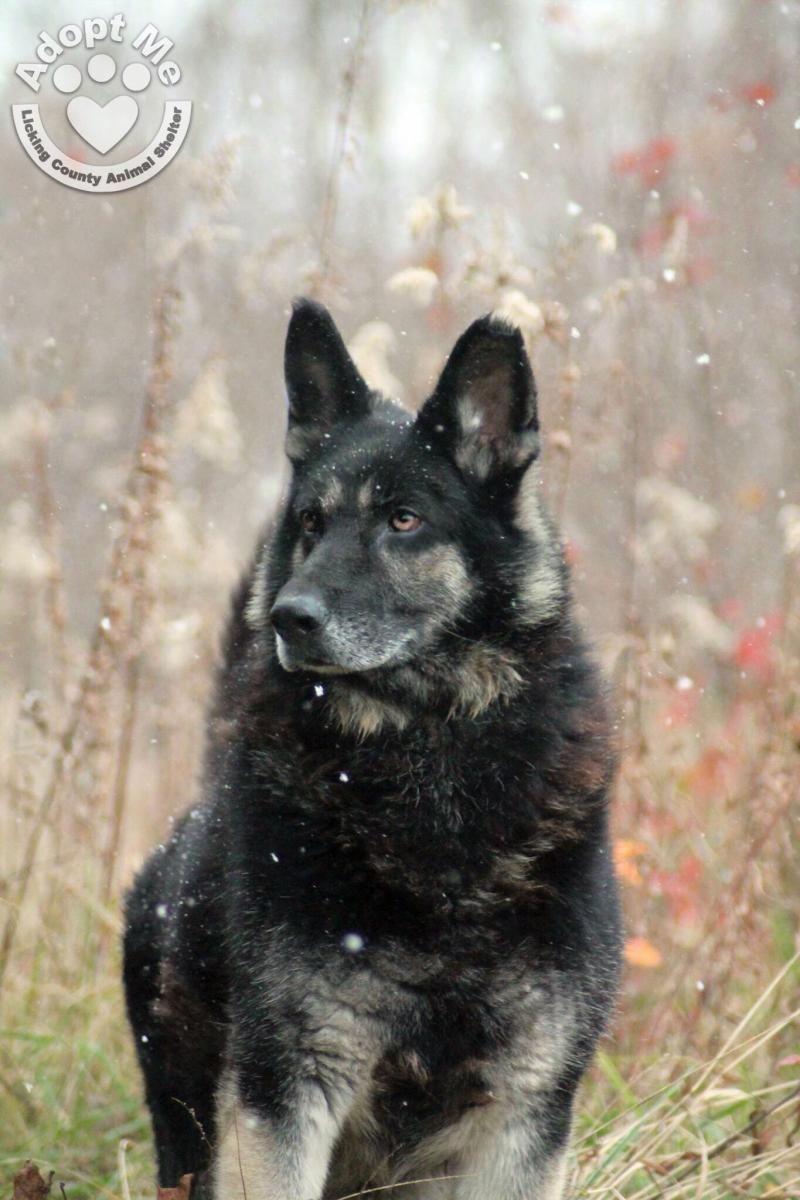 Adopt 549 Wesley On Shepherd Dog German Shepherd Dogs Dogs