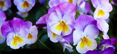 Pansy, Kukat, Violetti, Luonto, Kevät