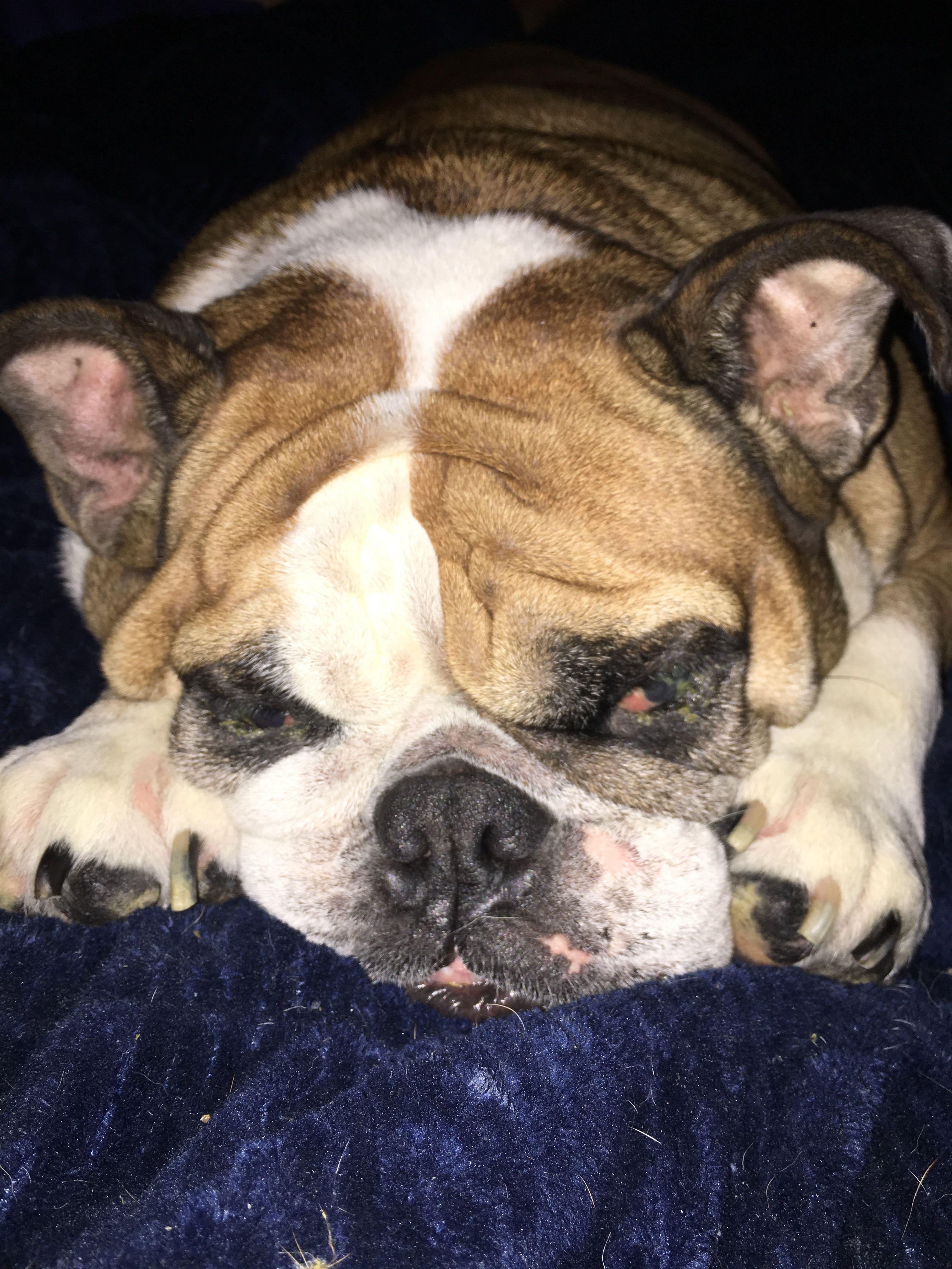 Pin By Tammy Tassin On English Bulldogs English Bulldog French