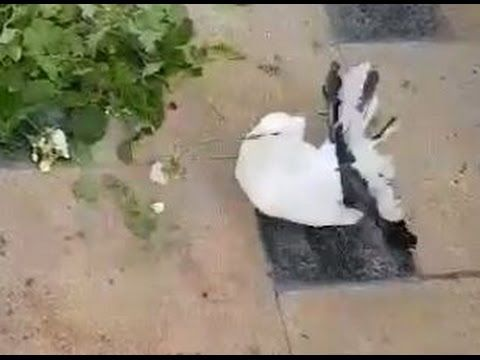 LiveLeak - Male dove gives his girlfriend a flower