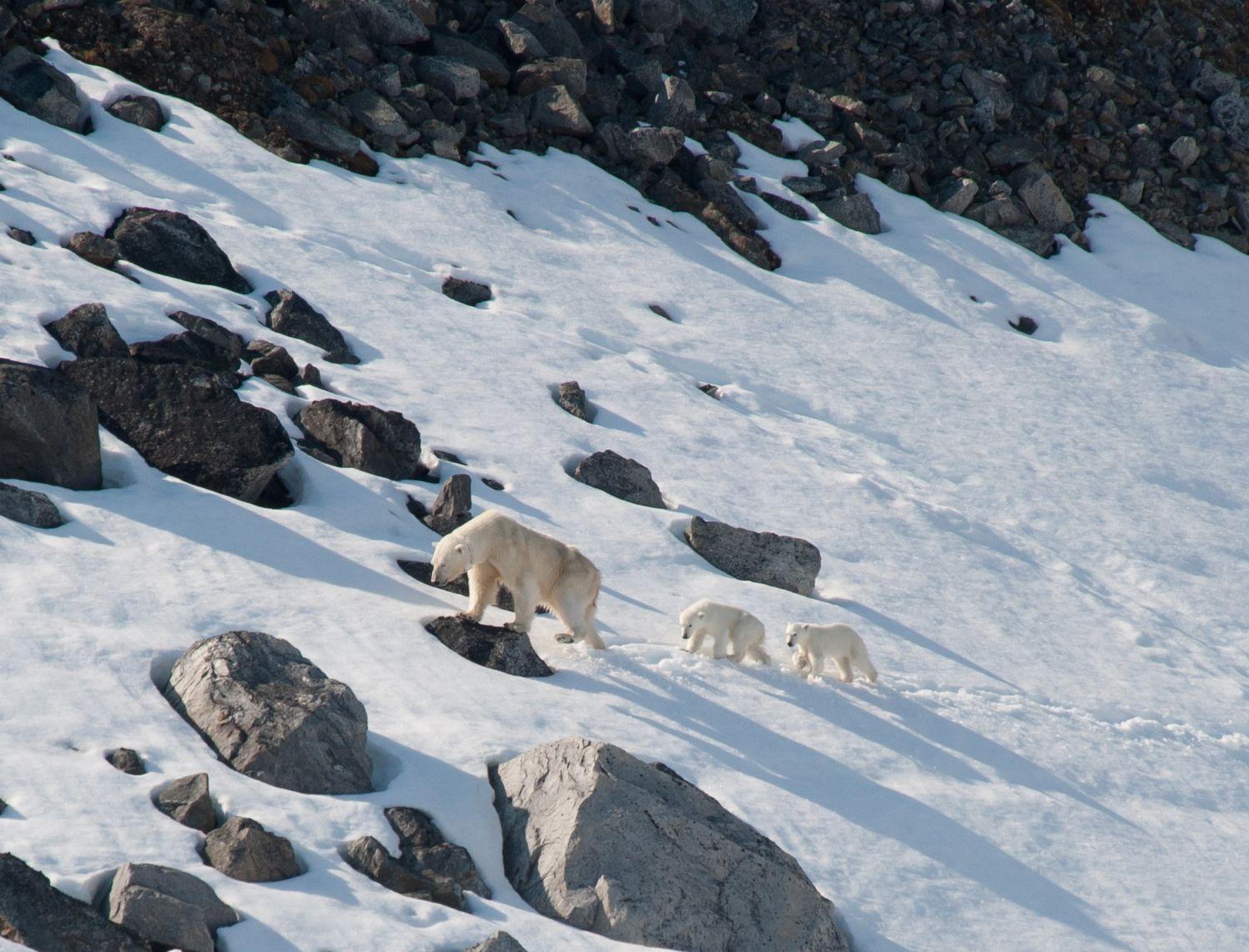 A Polar bear with its cubs in Spitsbergen. Polar bear