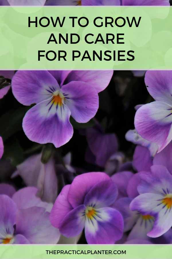 How To Grow And Care For Pansies Tips Varieties Pests And Diseases In 2020 Pansies Pansies Flowers Annual Flowers