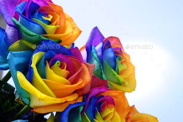 Download Free Bouquet Of Rainbow Rose Background Blossom Blue