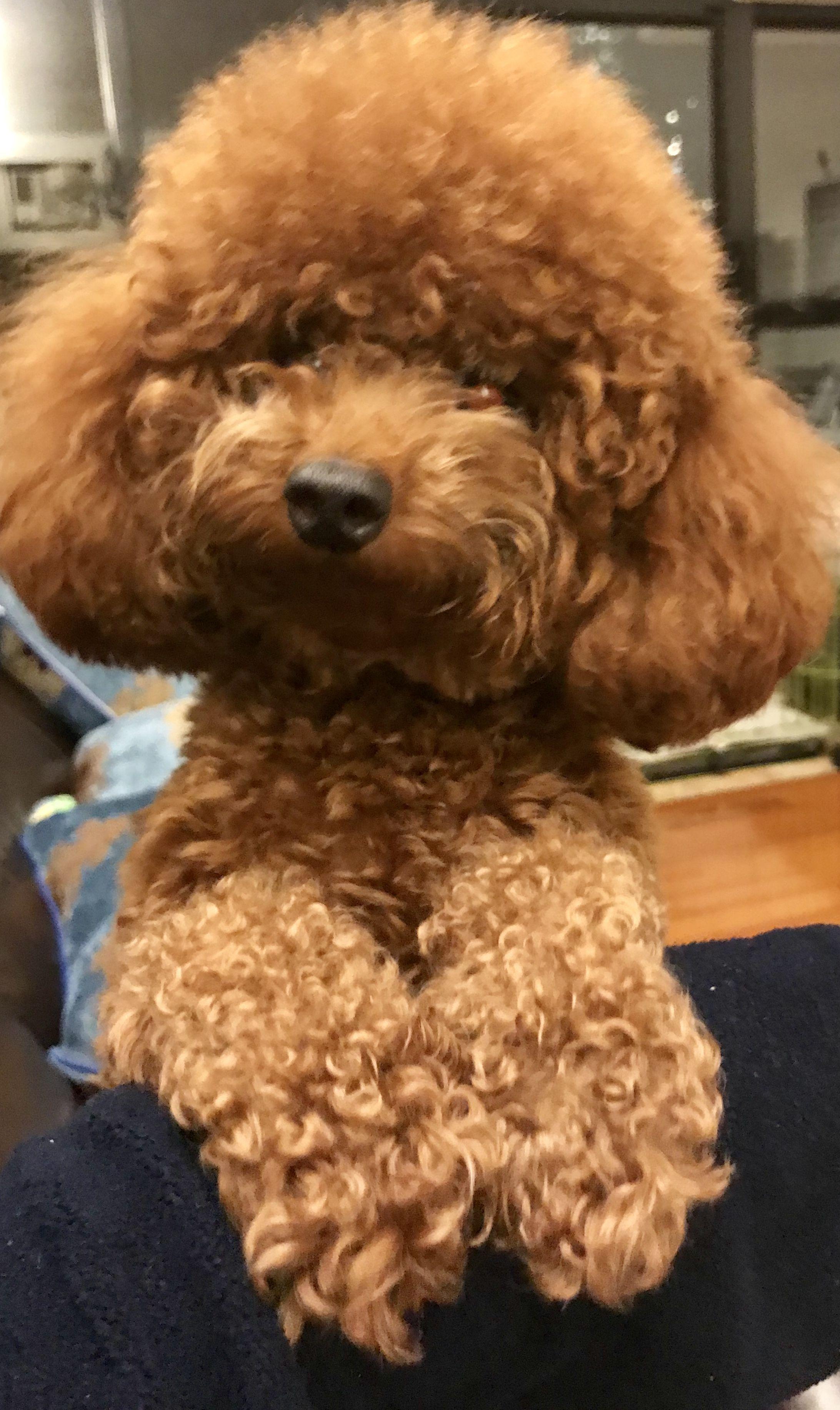 Hi It S Me Poodle Puppy Toy Poodle Haircut Poodle