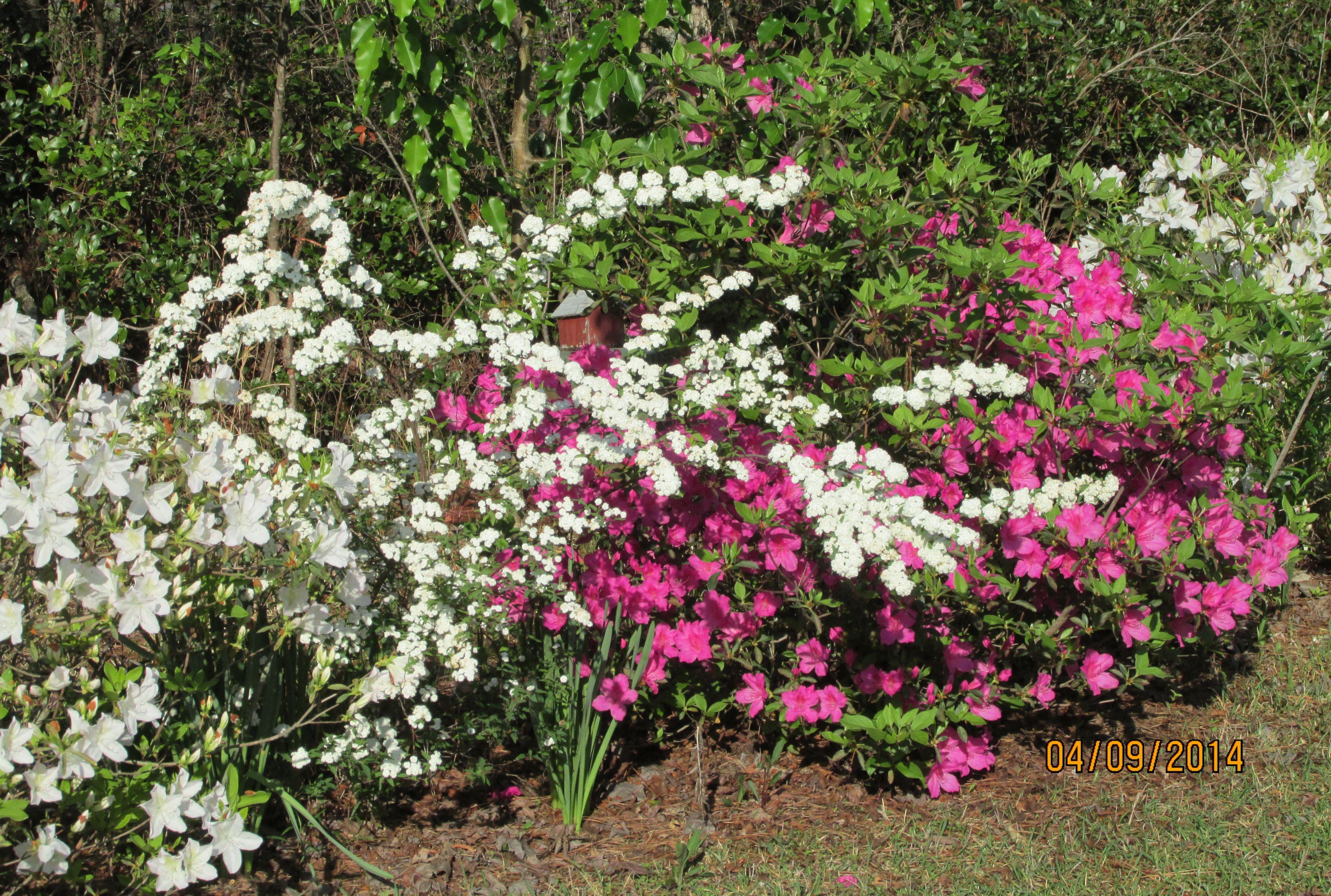 Old variety dark pink and white azaleas with cascading white spirea