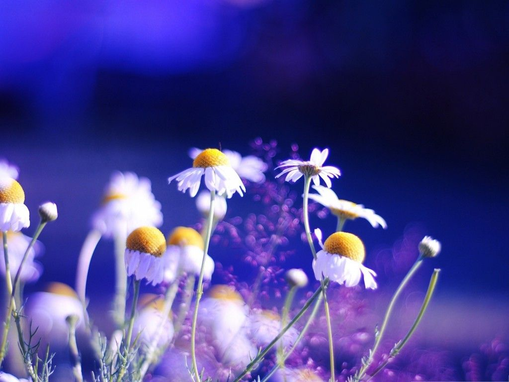 Chamomile flowers gardens pinterest flower and small flowers