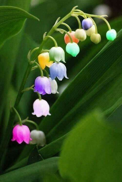 Campanula Orchid Orchid Seeds Lily Of The Valley Flowers Rose Seeds