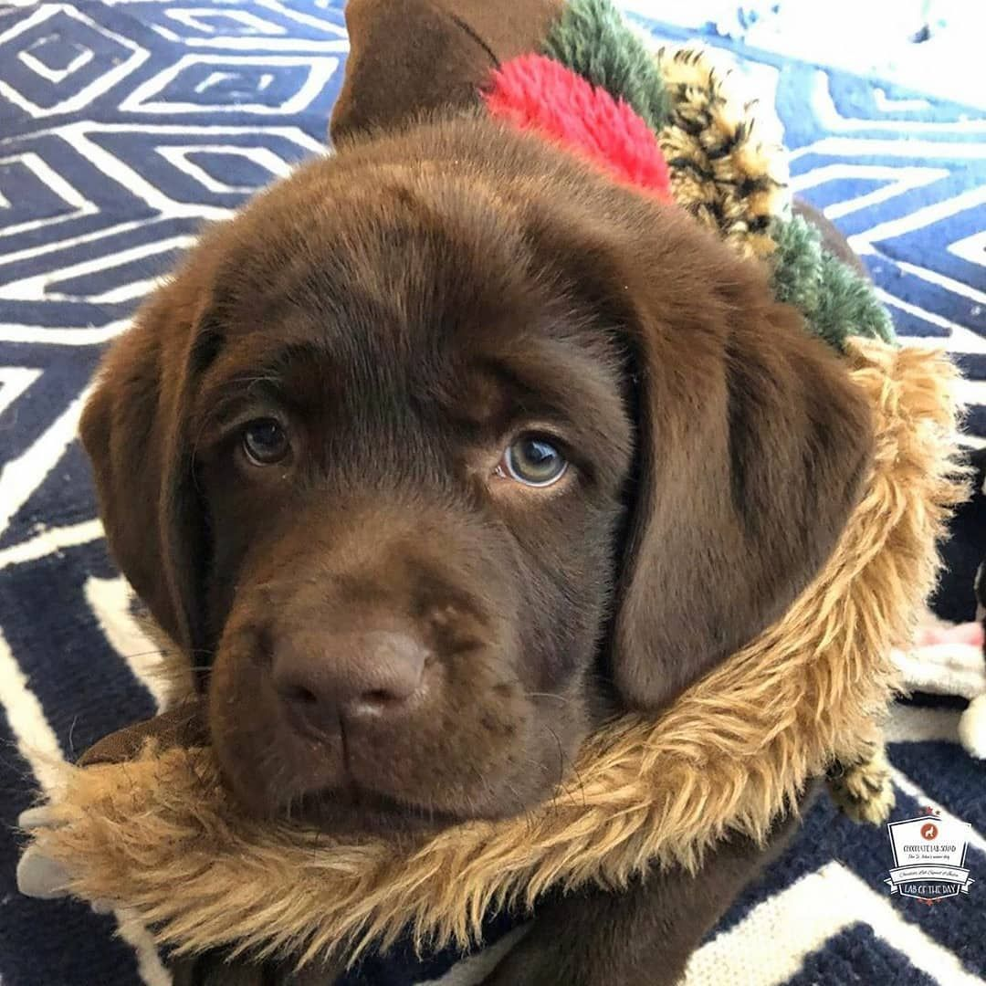 What S Your Labradors Name In 2020 Labrador Puppy Chocolate Dog Adoption Cute Baby Animals