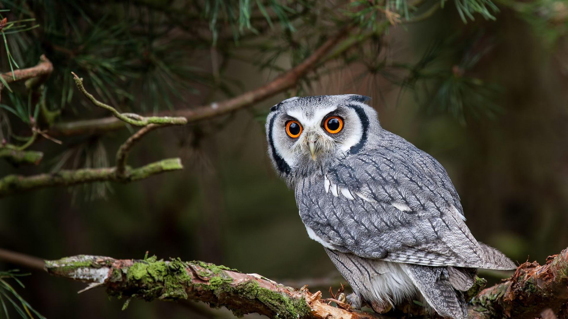 Wallpaper owl predator branch forest 1920x1080 | Обои-совы ...
