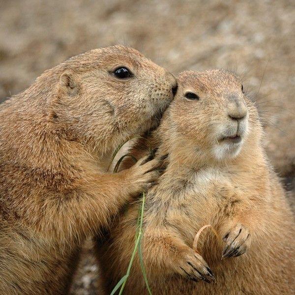 Marmotte animaux pinterest marmotte animaux et - Jeux d animaux trop mignon ...