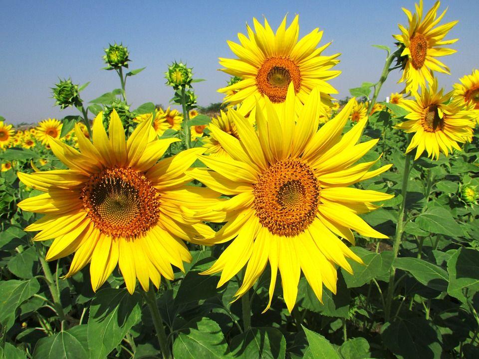 Gambar Gratis Di Pixabay Bunga Matahari Bunga Mekar Bunga Bunga Matahari Mekar