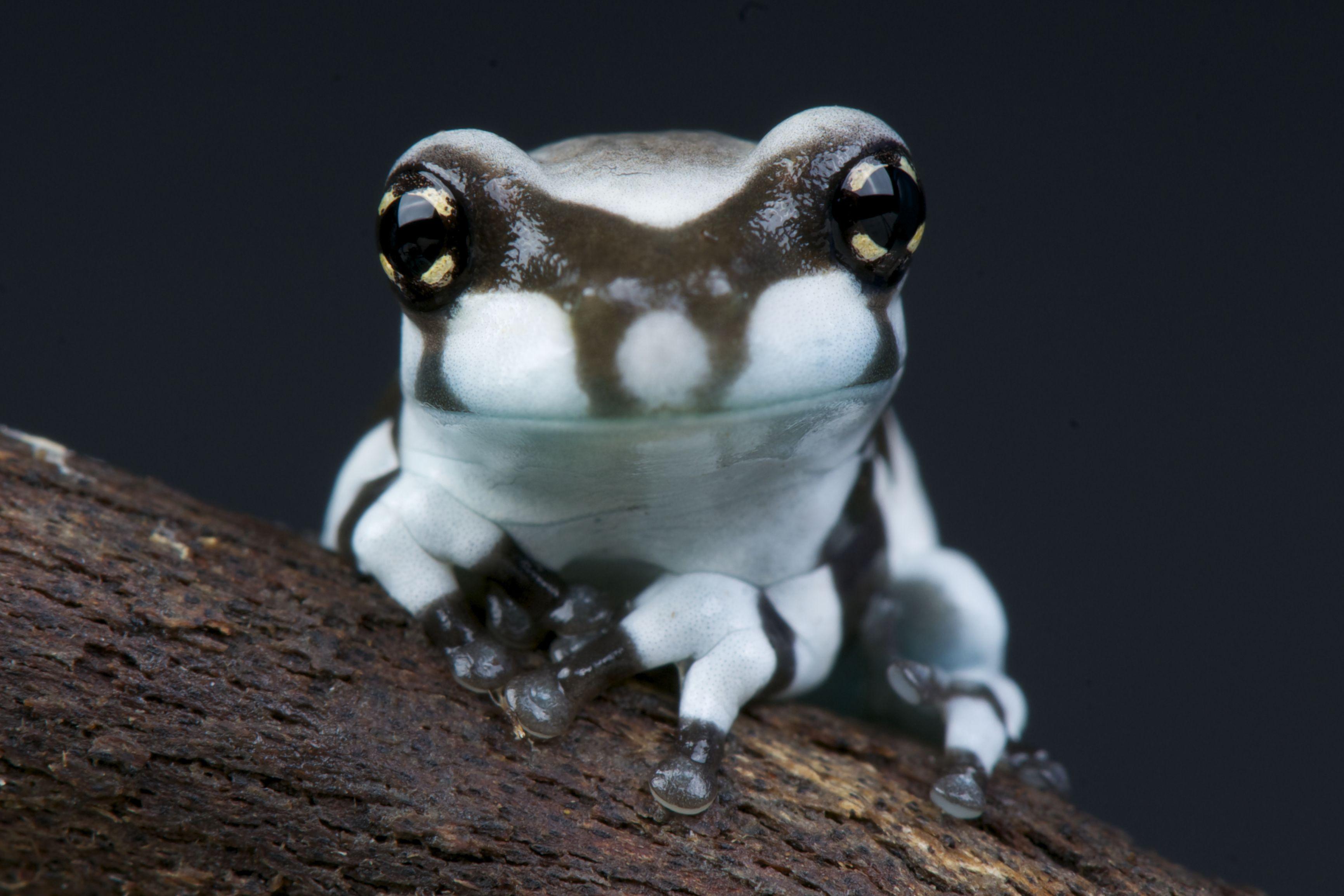 FROG OF THE WEEK Amazon Milk Frog Pet frogs, Frog, Frog