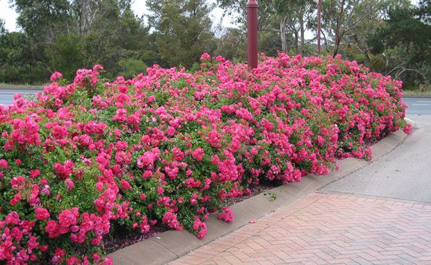 Flower carpet pink is a perfect low maintenance landscape for Easy maintenance plants and flowers