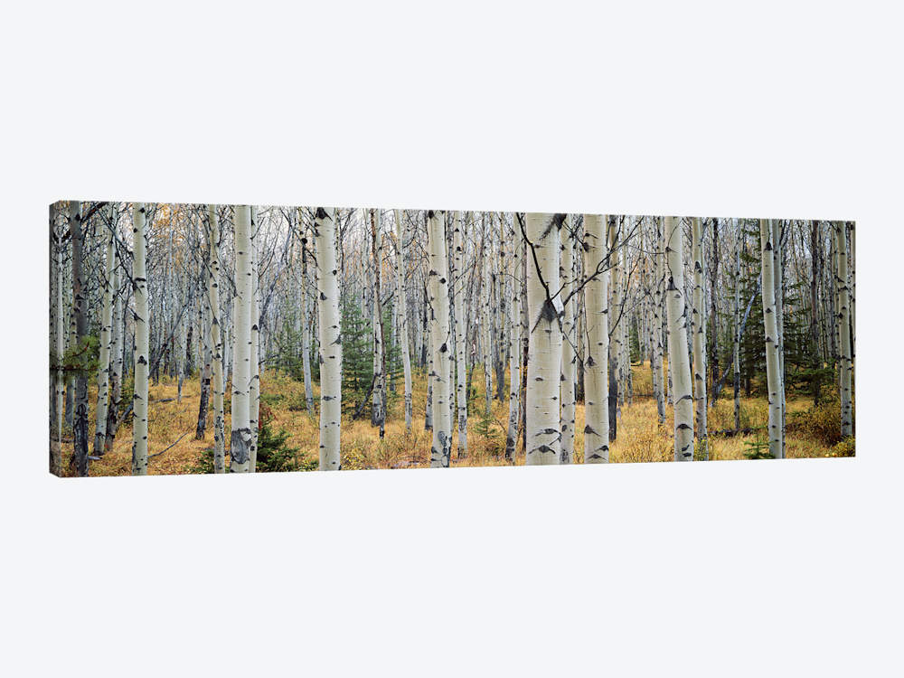 Aspen Trees In A Forest Alberta Canada Canvas Wall Art Icanvas In 2020 Aspen Trees Canvas Wall Art Wall Art