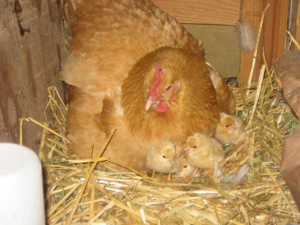buff orpington | Chickens backyard, Best egg laying ...