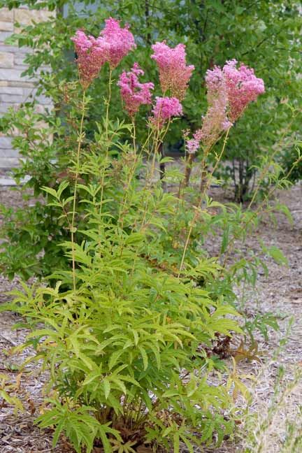 queen of the prairie filipendula rubra thrives in partial shade in moist soils the large. Black Bedroom Furniture Sets. Home Design Ideas