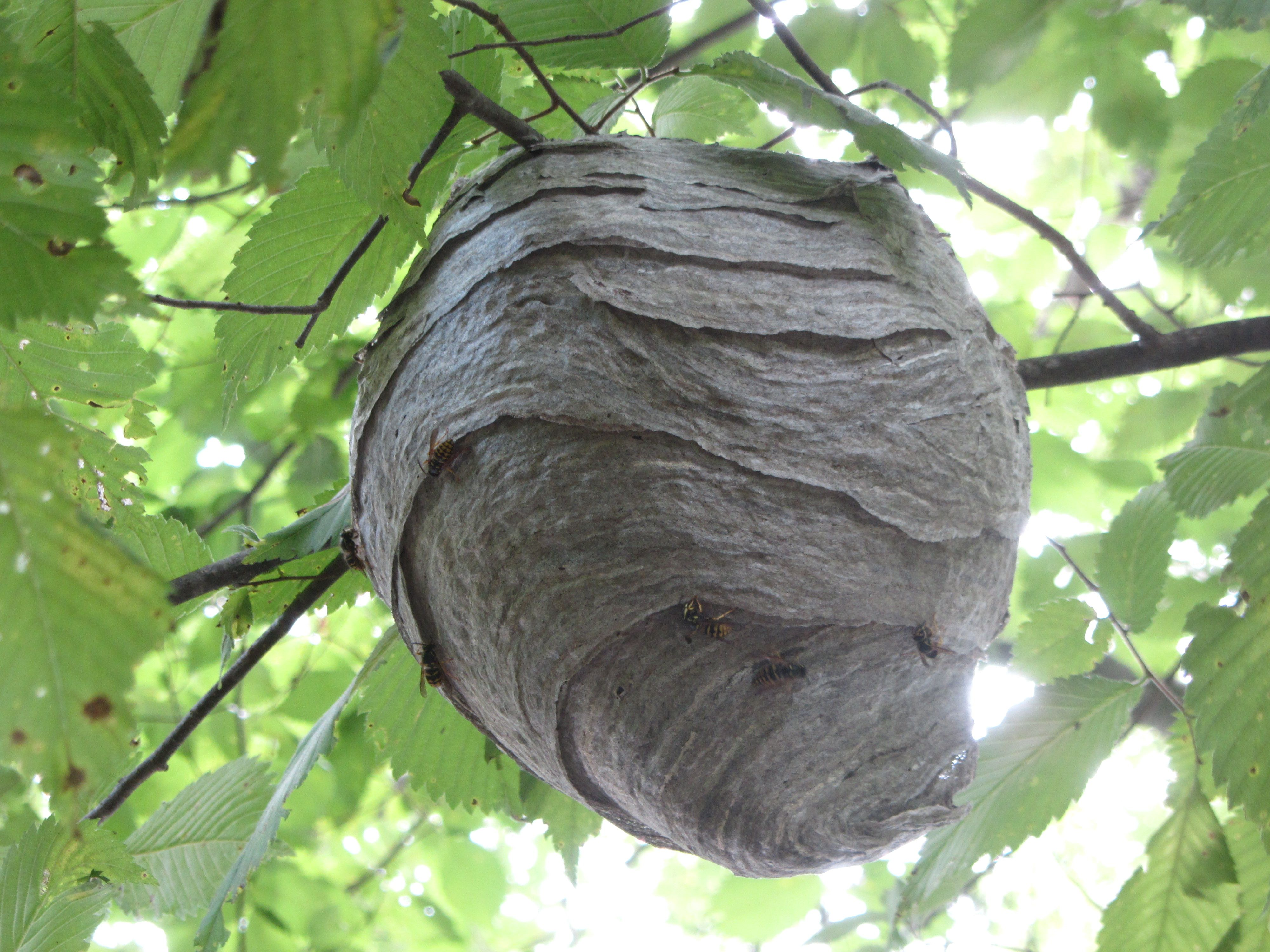 Wasp Nests - Identification And What To Do About Them