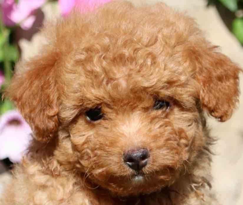 Pomapoo Pomeranian Poodle Designer Dogs Breeds Dog Breed Info