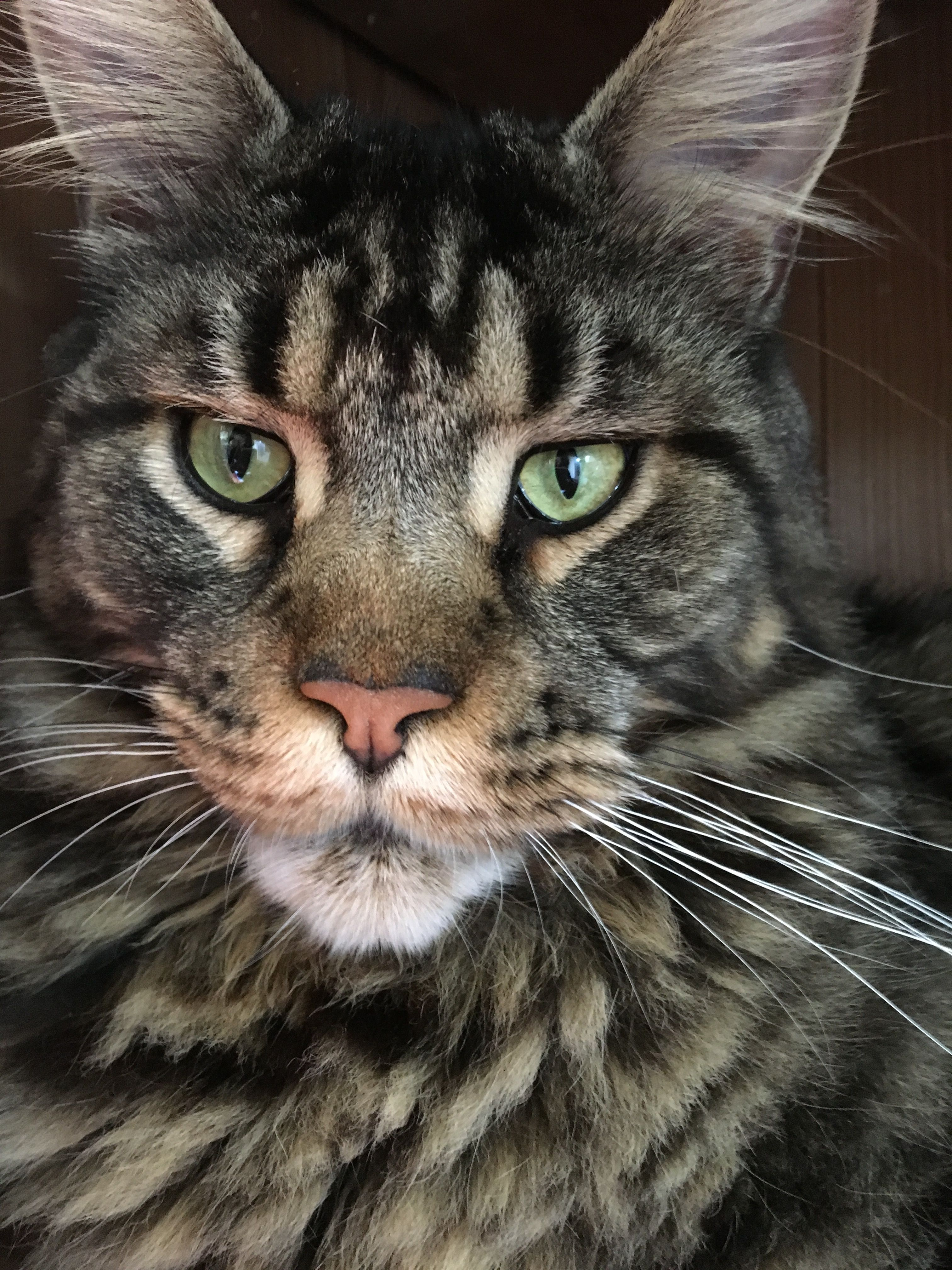 Maine Coon Black Tabby Bertie American Beauty Maine Coon And