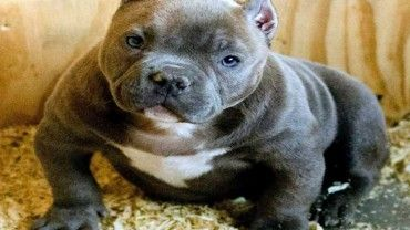 American Bully Dog Breed Info Center