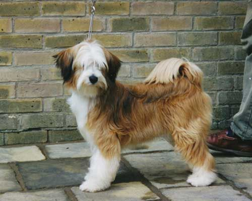 Tibetan Terrier Tibetan Terrier Terrier Puppies Dog Breeds