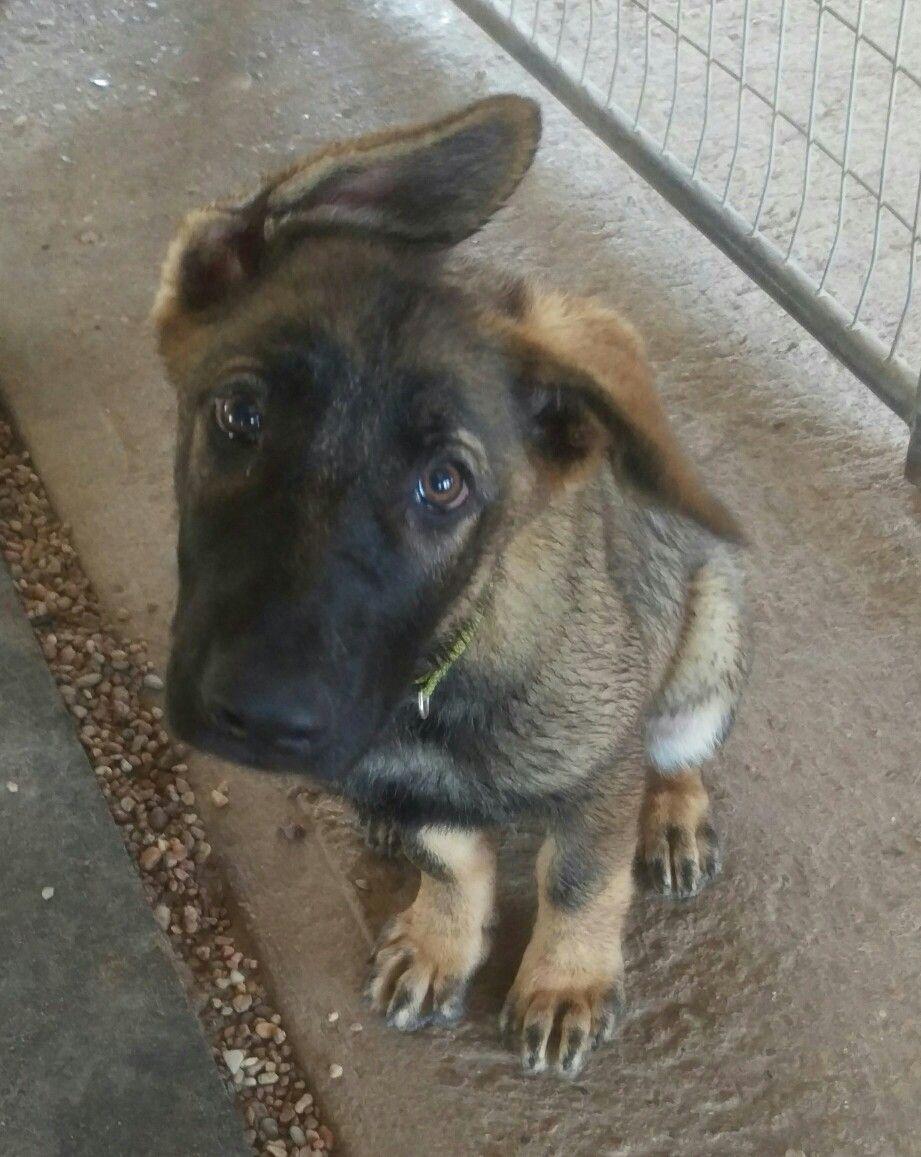 Park Art|My WordPress Blog_Silver German Shepherd Puppies Texas