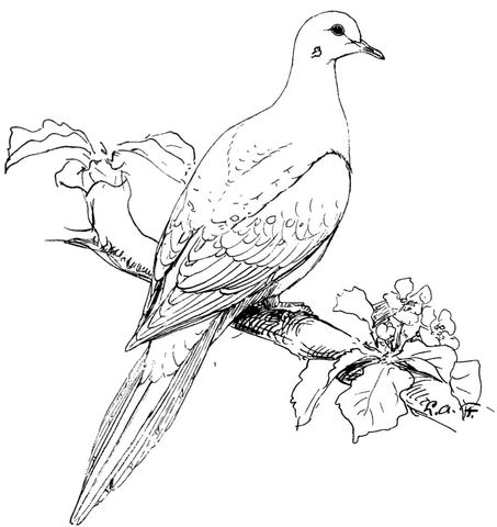Perched Mourning Dove Coloring Page Free Printable Coloring Pages Bird Coloring Pages Fish Coloring Page Coloring Pages To Print