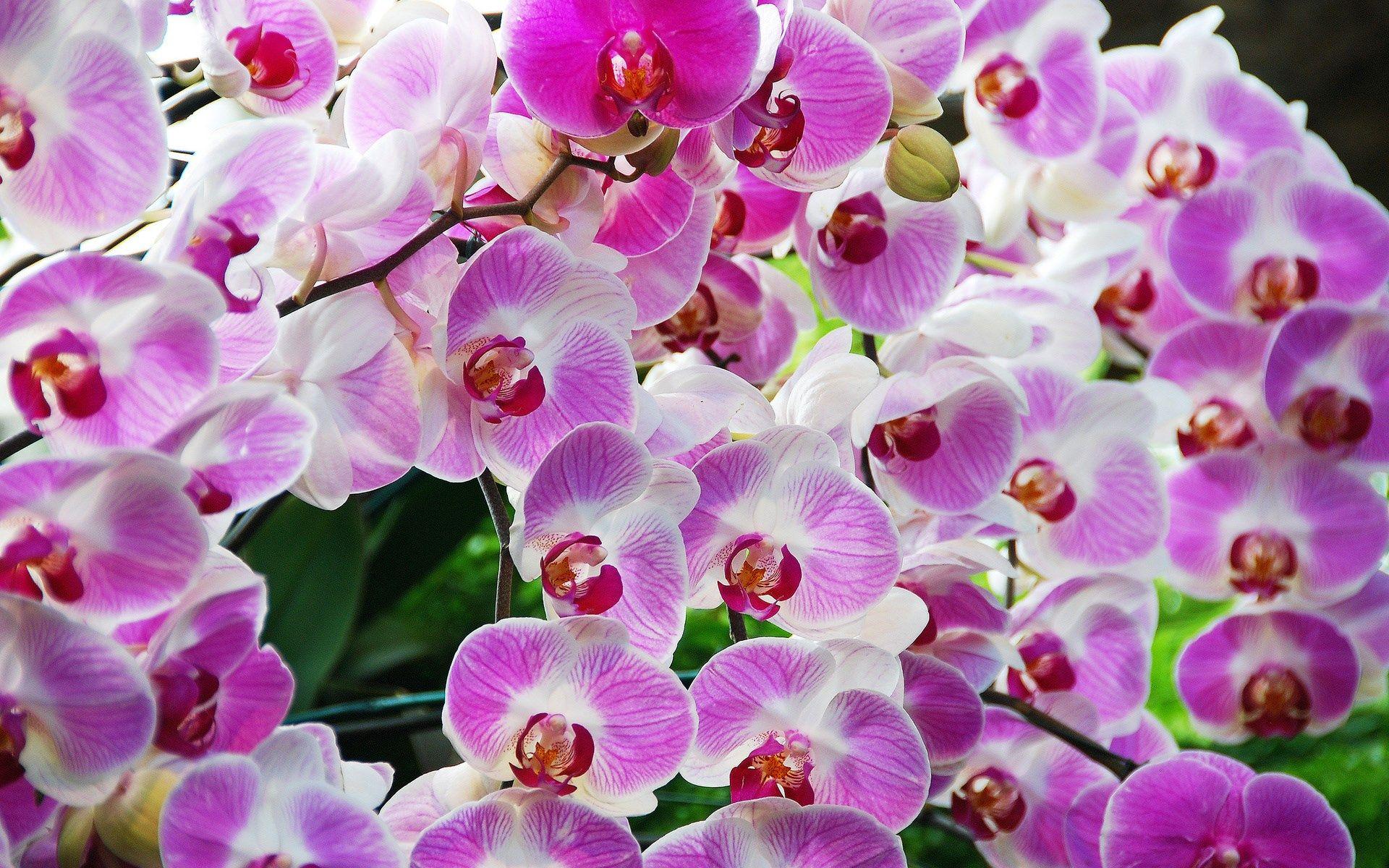 Orchid wallpaper backgrounds hd x kb gogolmogol