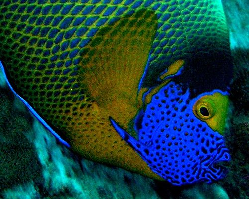 Blue Face Detail Color Of Life World Of Color Angel Fish