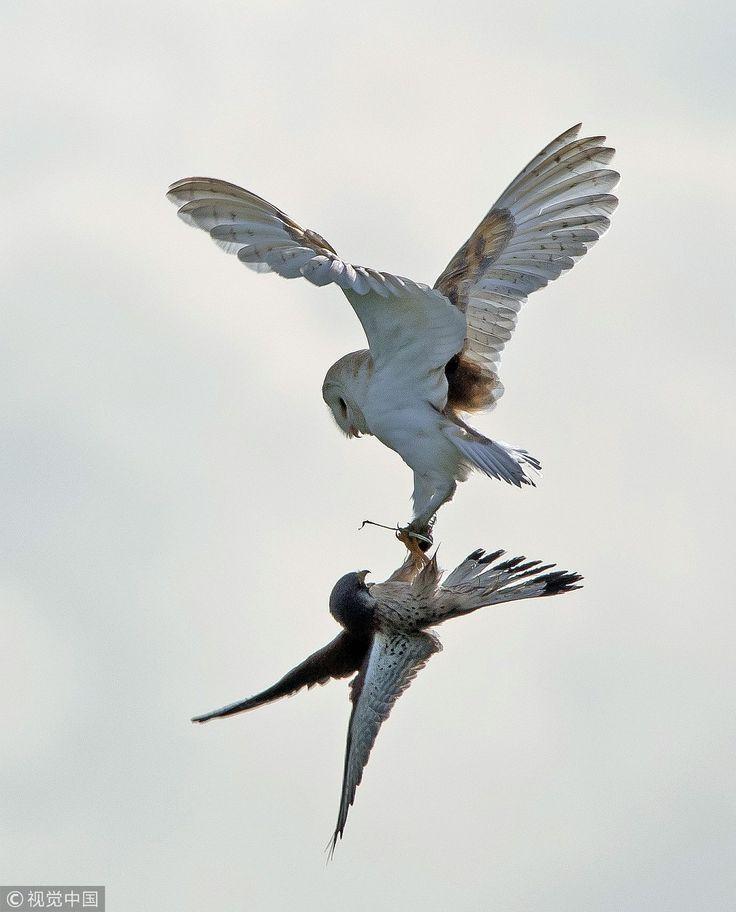 An Incredible Aerial Ambush Between Two Master Birds Of Prey With An Owl Attemp In 2020 Birds Birds Of Prey Beautiful Birds