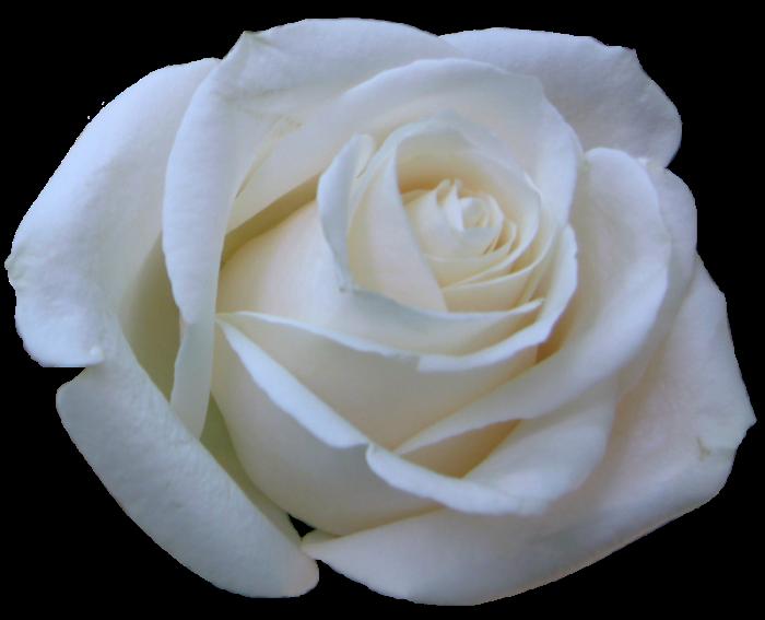 Resultado De Imagen De Rosa Blanca Rosas Blancas Feliz Cumpleanos Rosas Rosas