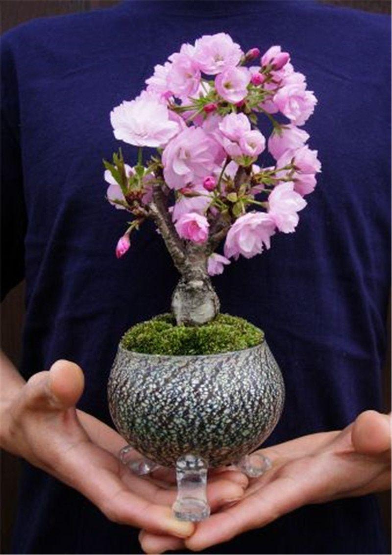 Rare Japanese Sakura Cherry Blossom For Garden Flower Bonsai Tree Indoor Flowers Plants Easy Grow 50 Pcs Flower Pots Plan Bonsai Flower Bonsai Tree Mini Bonsai